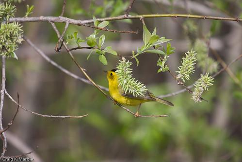 Wilsons Warbler (1 of 2)