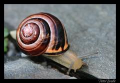 Action Shot (Peter Brake) Tags: shell snail escargot slimy needsgarlic exploreo52108