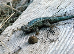fence lizard with lots of blue