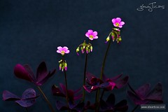 Flores de trbol (ETicas) Tags: pink wallpaper naturaleza black flower macro green nature canon eos rebel xt photo purple flor tiny fotografia clover shamrock pequea gmez purpleshamrock eticas elmerticas