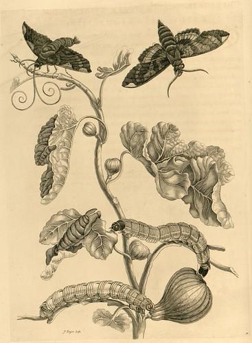 Metamorphosibus Insectorum Surinamensium (p75)