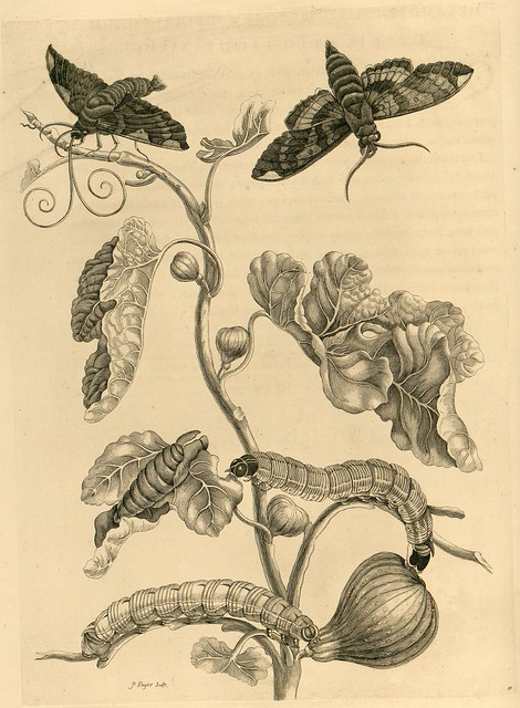 caterpillars and moth engravings