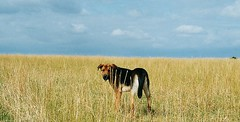 The dog that thought he was a lion (_Zenji_) Tags: beagle germany jena zen deutscherschaeferhund germanyshepherd