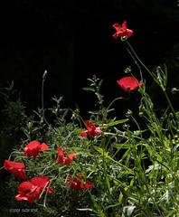 My Poppy Garden (Kazooze) Tags: flowers nature garden poppies mygarden redflowers srj