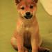 柴犬:IMG_7743