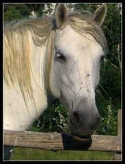 In Camargue (giansacca) Tags: cavalli horse animali francia france cavallo horses animals camargue cheval