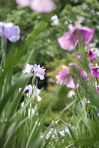 Iris lord