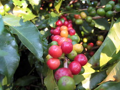 ripens (parttimefarm) Tags: trees coffee brasil fruit echapora ripens