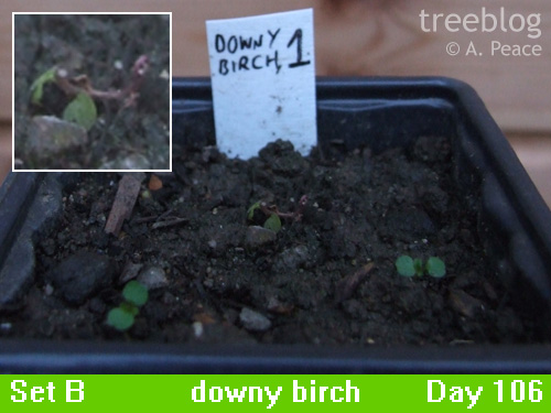 downy birch No. 1