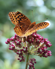 Butterfly_322 (MCV Photo & Video) Tags: new flowers orange flower nature butterfly flying purple nj chester management jersey morris closeups soe morriscounty worldnature 40d platinumphoto wildlifecloseup photocontesttnc08 blackriverwma