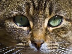 BearBrook Farms BarnCat (riclane) Tags: pet animal closeup cat kitten feline barncat