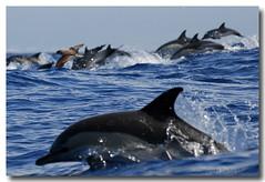 Delphinus delphis (PedroMadruga) Tags: ocean sea wild mammal dolphin wildlife pico d200 azores açores golfinho cetaceo cetacean tonina commondolphin naturesfinest openocean toninha pedromadruga southofpico golfinhocomum toninhamansa suldopico