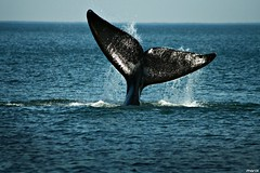 whale of a time ( marcelo) Tags: ocean sea nature water animal canon mammal uruguay zoom wildlife tail explore whale marce fin ballena puntadeleste 400d marcelodasilva marce fotoganadorafuy
