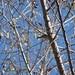 Pine Warbler tail pattern Pena Blanca November 17, 2007 039