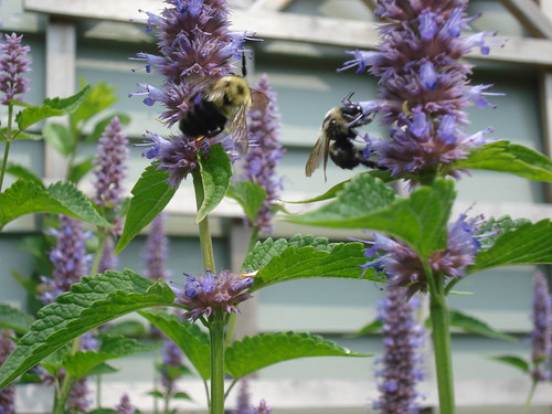 bees love the veronica