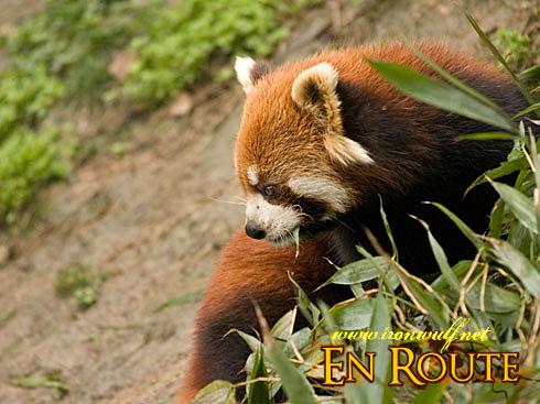 Red Panda Glance