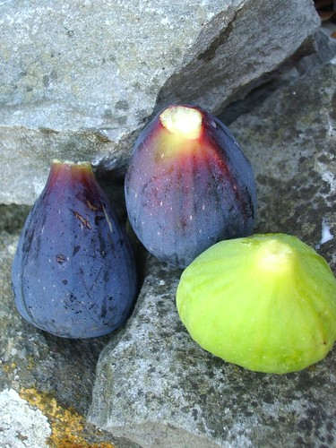 Figs in late August