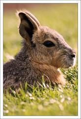 Mara (paulmcdee) Tags: park travel wild portrait cute rabbit animal canon zoo guineapig eyes bokeh deer safari mara bambi whipsnade 5photosaday eos450d topqualityimagesonly sidebarpaul