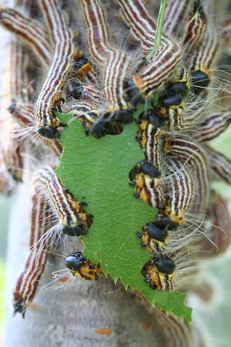 sawfly larvae having a group feed