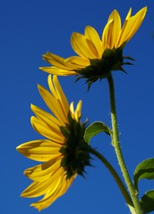 Something Simple (Canicuss) Tags: flowers blue sky green nature beautiful yellow petals stem sweet sunflower simple sonya100 colourartaward canicuss