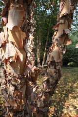 river birch (*0ne*) Tags: pennsylvania 0ne familyvisit2008 christinekaelin