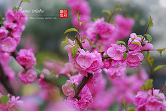 2008_04090004 (chinaphila) Tags: flower flora prunus cerasus rosaceae