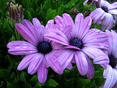 Osteospermum. (JannK) Tags: flowers socal southerncalifornia 1001nights osteospermum africandaisies supershot macrolicious fantasticflower fineartphotos masterphotos abigfave worldbest pinkforthecure excellentsflowers natureselegantshots explorewinnersoftheworld mimamorflowers awesomeblossoms kunstplatzlinternational flickrflorescloseupmacros