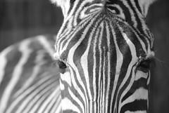 Zebra Brow