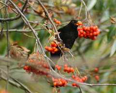 Amselfutter (binaryCoco) Tags: red black male rot bird nature berry feeding natur hannover rowan turdusmerula beere blackbird merle schwarz vogel amsel ouzel eberesche mnnchen sorbusaucuparia laatzen vogelbeere schwarzdrossel