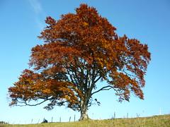 Rotbuche Beech Tree Baum (Aah-Yeah) Tags: tree baum beech fagus buche achental chiemgau grassau rotbuche silvatica strehtrumpf