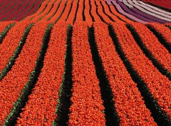 Rolling hills of colour... (Mary Trebilco) Tags: flowers red orange flower colour green colors field canon purple tulips powershot explore tulip tasmania rollinghills tulipfestival canonpowershot tablecape straightfromthecamera sooc powershots3is canonpowershots3is straightoutofcamera exceptforasmallcrop vandiemenqualitybulbs