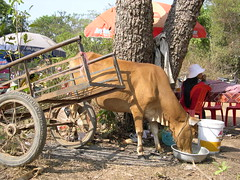Kambodschanische Kuh (roba66) Tags: animal tiere kuh cow cambodia kambodscha siemreap angkor tier banteaysrei earthasia worldtrekker vanagram aufdenstrassen roba66