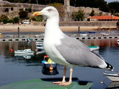 "Seagull (tacel19) Tags: gaviota baiona ""mallmixstaraward""b tacel19"
