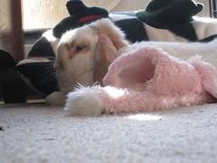 IMG_4154 (joandirk) Tags: rabbit cadbury lop minilop