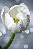 Celebrate.. (QiYaDiYa) Tags: macro canon 100mm tulip fatma excellence almeer explored 400d qiyadiya