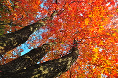 Autumn Flags (Artem Portnoy) Tags: autumn trees red orange fall yellow season colorful bright vivid lookingup thumbsup treetrunks twothumbsup thumbsupwrestling tuw121