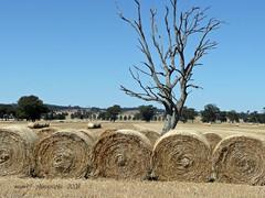 summer harvest... (mum49) Tags: wheat straw seeds deadtree rolls local hay platinumphoto summerharvest dreamsrolledup