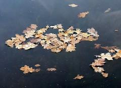 Floating, drowning ... (:Linda:) Tags: blue autumn brown water swimming germany leaf pond oak village laub floating drop thuringia droplet blatt teich oaktree autumnal wassertropfen tropfen eiche twocolors bicolored trpfchen gewsser brden baumblatt eichenbaum