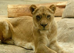 Milwaukee County Zoo (Tiger_Jack) Tags: animals flickrbigcats bigcats zoo zoos exoticcat exoticcats bigcat milwaukeezoo lions lion zoosofnorthamerica itsazoooutthere milwaukeecountyzoo