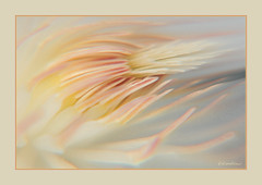 (kdaman2008) Tags: abstract flower art floral pastel flowing flowerotica fantasticflower hoyacloseupfilters