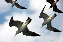 seagull3 (godamariko) Tags: sea sky seagulls bird birds seagull kamome