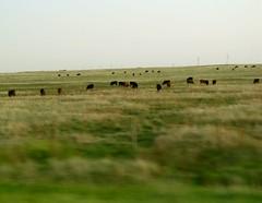 Albrta_33a (autumn_frith) Tags: trip cattle alberta