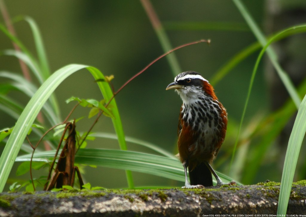 小彎嘴 Streak-breasted Scimitar-Babbler - IMG_1406