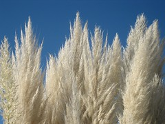 Pampas Grass (hopeisalot) Tags: friends nature bluesky harmony olympia wa iq shiningstar pampasgrass whitegrass withsky november2008 exemplaryshots heartawards platinumheartawards zenenlightenment zensational highqualityimages ilovemypics draongoldaward whiteiswhite iloveflickrgoldenphoto 100commentgroup platinumgolddoubledragonawards doubledragonawards lesamisdupetitprince earthcareaction comefromlandandsea platinumhalloffameawards