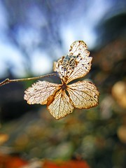 Left over hydrangea (tanakawho) Tags: sky cloud plant flower macro green nature dof bokeh lace decay petal hydrangea skeletal skelton naturesfinest tanakawho anawesomeshot brillianteyejewel goldstaraward