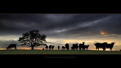 Crowd control (Garry - www.visionandimagination.com) Tags: tree grass silhouette backlight rural landscape cow milk bravo cattle oz farm framed pano silhouettes australia queensland 5d backlit aus livestock herd crowdcontrol dairyfarm platinumphoto countryrural ysplix ef1635mmf28liiusm theunforgettablepictures alemdagqualityonlyclub alemdaggoldenaward visionandimagination novusvitanewlife sensationalphoto farmlifestock wwwvisionandimaginationcom