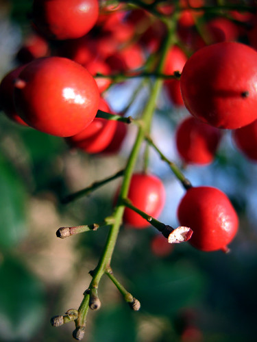 Berries:  December 6, 2008