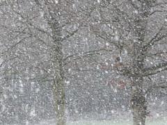 Snowflakes (seikinsou) Tags: snowflake ireland winter snow tree snowstorm snowfall beech westmeath