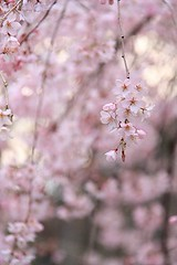 The weeping cherry in Rikugien () (rockcake) Tags: pink japan canon cherry tokyo spring    rikugien  weepingcherry    eoskissx2 efs18200mmf3556is