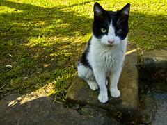 El gato blanquinegro (Caliaetu) Tags: españa cat spain asturias unesco gato biospherereserve gatto redes mab asturies naturalpark caso parquenatural reservadelabiosfera casu caliaetu fernandotorrealonso pelcaminasturias